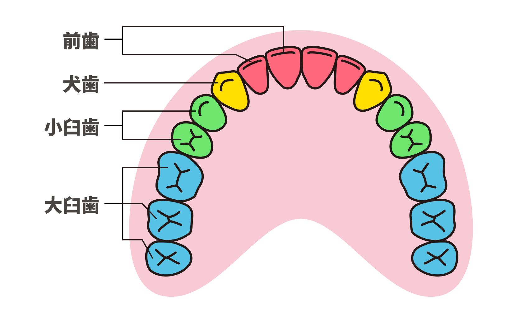 歯列の並び